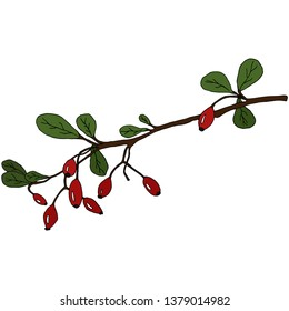 Hand drawn barberry twig isolated on white background.