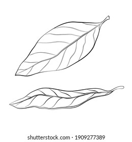 hand drawn bay leaves vector illustration isolated on white. sketch of dry bay leaf set. outline doodle style. dry seasoning laurel. organic, Cooking flavor ingredient, condiment. great for design