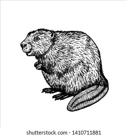 Hand drawn beaver. Retro realistic isolated animal. Vintage style. Doodle line graphic design. Black-white drawing mammal. Vector sketch. Engraving animal.