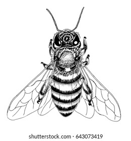 Hand drawn bee sketch in black and white vector illustration.