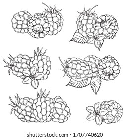 Hand drawn berry. Raspberry on white background.  Vector sketch illustration