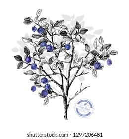 Hand drawn bilberry bush wih flowers and ripe berries. Vector illustratration