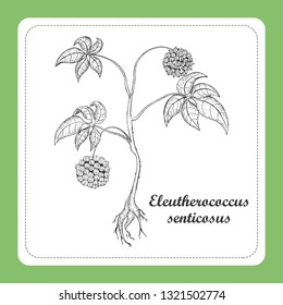 Hand Drawn Black Branch of Eleuthero Placed on the Square Substrate with Dotted Frame. Herbal with Latin Name Eleutherococcus Senticosus. Component for Traditional Herbal Medicine