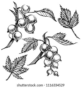 Hand drawn black currant sketch set. Forest berries illustrations. Isolated on white background.