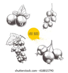Hand drawn black currant sketch set. Bunch with leaves. Forest berries illustrations. Isolated on white background.