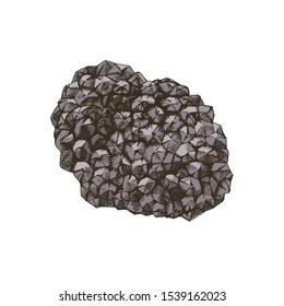 Hand drawn black truffle mushroom. Vector illustration