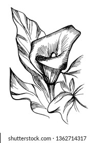 Hand drawn black and white blooming callas flowers. Detailed illustration of decorative calla lily flowers in line style isolated on white background. Accurate hand drawing of romantic calla lilies.