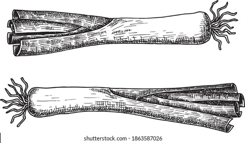 Hand drawn black and white crosshatch vector illustration of two leek. No background.