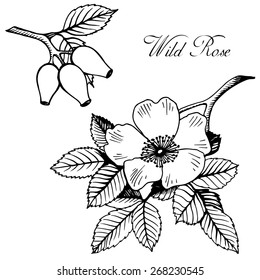 Hand drawn blooming Wild rose