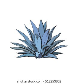 Hand drawn blue agave, main tequila ingredient, sketch style vector illustration isolated on white background. Drawing of agave cactus, side view, colorful illustration