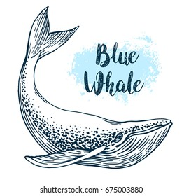 Hand drawn blue whale vector illustration. Big sea fish in vintage engraving style. Sketch isolated on white background