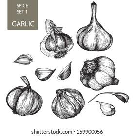 Hand drawn botanical hand drawn sketch collection of garlic.