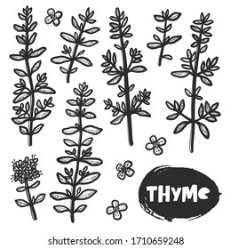 Hand drawn botanical thyme plant sketch style. Grunge stylized ink herbal illustration. Isolated herb engraved drawing of menthol leaves. Outline leaf and flowers.