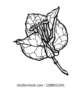Hand drawn Bougainvillea flower vector illustration. Vector silhouette of hand drawn bougainvillea flower isolated on white background. Sketch linear Bougainvillea blossom.Engraved style illustration.