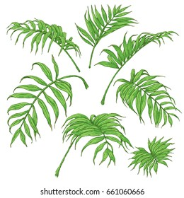 Hand drawn branches and leaves of tropical plants. Green Palm fronds isolated on white. Vector sketch.