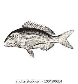 hand drawn  bream fish vector illustration