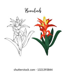 hand drawn bromeliads flower stalk in vector illustration