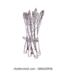 Hand drawn bunch of asparagus. Vector illustration isolated on white background.