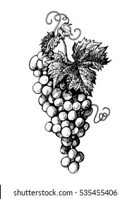 Hand drawn bunch of grapes in vintage style. Black and white vector illustration isolated on white background.