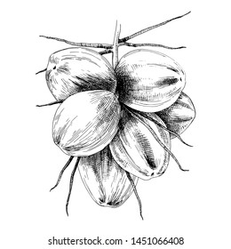 Hand drawn bunch of green coconuts. Vector illustration