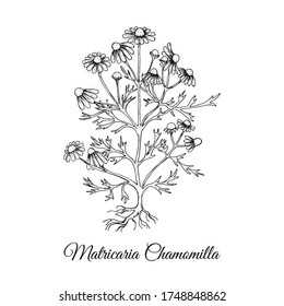 Hand Drawn Bush of Chamomilla Isolated on White Backdrop. Herbal with Latin Name Matricaria chamomilla. Sketch Style Vector Illustration. Herbal Medicine and Food Industry Component.