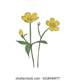 Hand drawn buttercup flower, vector