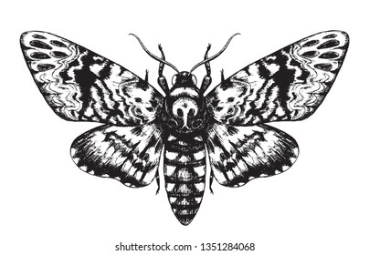 Hand drawn butterfly Acherontia Styx isolated on white background. Pencil drawing monochrome Death's-Head Hawkmoth top view. Illustrations in vintage style, t-shirt design, tattoo art.