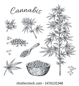 Hand drawn cannabis. Hemp plant with seeds leaves and cons, vintage black ink line sketch of marijuana. Vector artwork illustration contour cannabis isolated on white background