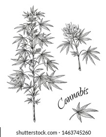 Hand drawn cannabis. Linear sketch of marijuana branch leaves and cones. Vector artwork hemp plant black contour isolated on white background