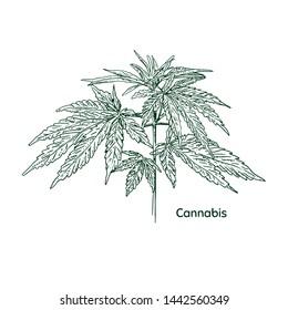 Hand drawn cannabis plant. Isolated sketch of marijuana twig. Vector illustration.