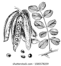 Hand drawn carob. Pods, seeds and leaves. Vector illustration