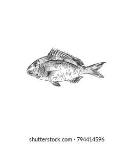 Hand Drawn Carp Sketch Symbol. Vector Sea Bream Element In Trendy Style.