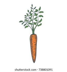 Hand Drawn Carrot Sketch on White Background. Vector illustration