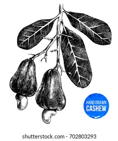 Hand drawn cashew tree branch isolated on white background. Vector illustration in retro style