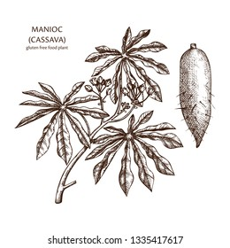 Hand drawn Cassava illustration. Botanical drawing of manioc, yuca or Brazilian arrowroot. Agricultural plant sketch. Vegan and healthy. Great for packaging, label, icon. Lineart. Vector outlines.
