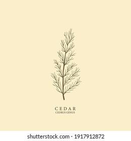 Hand drawn cedar illustration. Botanical design