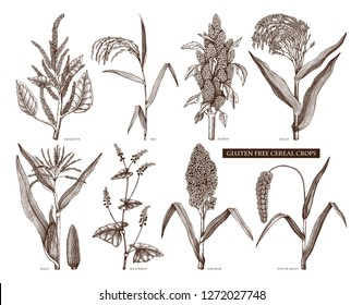 Hand drawn cereal crops set. Gluten free plants collection. Vector vegetables drawing in engraved style. High detailed vegetarian food objects. Great for packaging, menu, label, icon.