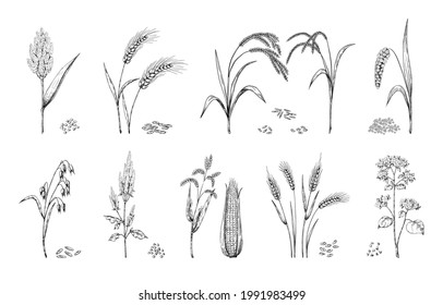 Hand drawn cereals. Agricultural crops sketch. Ears of wheat and rye, oat or barley. Farm food plants set. Buckwheat or sorghum stalks, corn cobs. Heaps of seeds. Vector grain harvest
