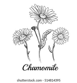 Hand drawn chamomile flowers