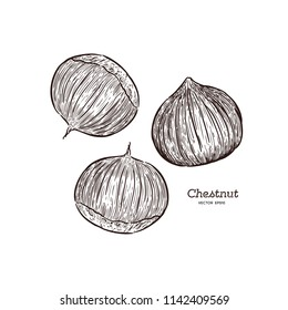 Hand drawn chestnut. Nuts sketch in style, vector illustrator.