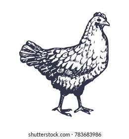 Hand Drawn Chicken Engave Style Sketch. Vector illustration