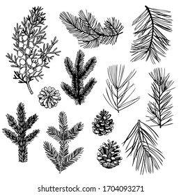 Hand drawn Christmas plants set. Coniferous tree branches. Vector sketch  illustration.