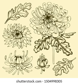 Hand drawn chrysanthemum flowers, leaves and buds. Set of floral elements. Line art on beige background