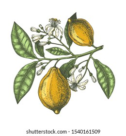 Hand drawn citrus fruits - Lemon branch. Vector sketch of highly detailed lemons tree with leaves, fruits and flowers.  citrus plants illustration on white background.
