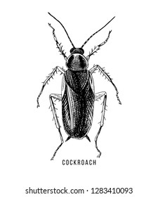 Hand drawn cockroach on white background. Vector illustration