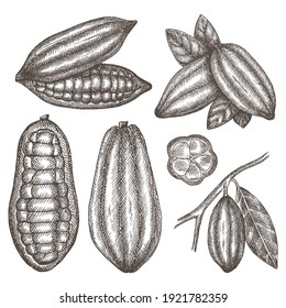 Hand drawn cocoa bean. Vector sketch illustration