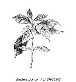 Hand drawn coffee seedling. Vector illustration
