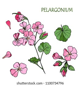 Hand drawn color flowers . Vector illustration in sketch style. pink flower Pelargonium (Geranium),  set of flowers, leaves. Isolated on white background.