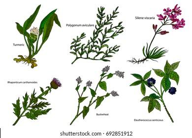 Hand drawn color herbal vector illustration: Turmeri, Polygonum aviculare, Buckwheat, Silene viscaria, Eleutherococcus senticosus, Rhaponticum carthamoides.