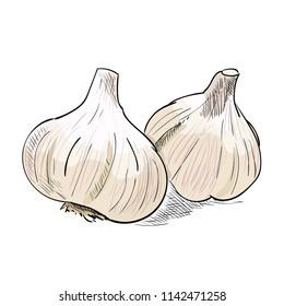Hand drawn color sketch of garlic. Vintage engraved illustration. Botanical garlic. Vegetarian food drawing. Vector illustration for restaurant menu design